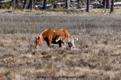 Foal #5 of 2016 Lyra's Vega's 2016 Foal Presumed sire:  Riptide Chestnut with Blaze Southern Herd First seen 4/13/16