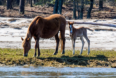 Foal #5 of 2016 Lyra's Vega's 2016 Foal Presumed sire: Riptide Chestnut with Blaze Colt Southern Herd First seen 4/13/16