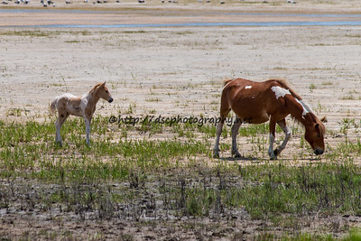 Foal #50 of 2016 Kimball's Rainbow Delight's 2016 Foal Probable Sire:  Prince Palomino Pinto Filly Northern Herd First seen 6/1/16 by Sue Johnstonbaugh & Darcy Cole