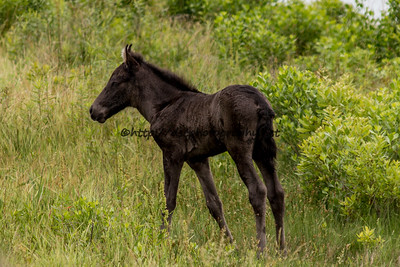 Foal #53 of 2016 Shy Anne/Half & Half's 2016 Foal Probable Sire:  Neptune  Black Colt Northern Herd First seen 6/2/16 by Ciara Bowen & Tory Egerton
