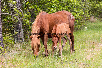Foal #20 of 2016 Susana's 2016 Foal Probable Sire:  Wild Bill Chestnut Filly Northern Herd First seen 5/7/16