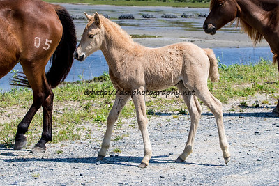 Foal #24 of 2016 Taco's 2016 Foal Probable Sire:  Chief Palomino Filly Northern Herd  First seen 5/14/16
