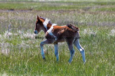Foal #32 of 2016 Thetis's 2016 Foal Probable Sire:  Wild Thing  Bay Pinto Colt Northern Herd First seen 5/18/16