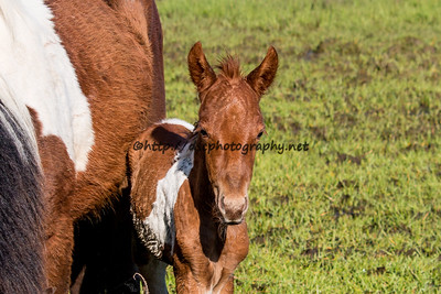 Foal #40 of 2016 White Saddle's 2016 Foal Probable Sire:  Sockett To Me Chestnut Pinto Filly Northern Herd First seen 5/24/16