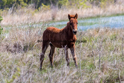 Foal #4 of 2016 Wild Island Orchid's 2016 Foal Probable Sire:  Hoppy Chestnut Filly Northern Herd First Seen 4/11/16