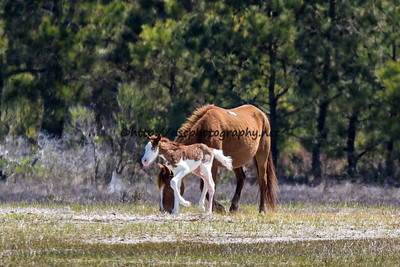 Foal #6 of 2016 Diamond's Jewel's 2016 Foal Presumed sire: Riptide Chestnut Pinto Southern Herd Born 4/18/16 at 10am