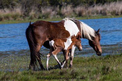 Foal #33 of 2016 Carol's Little Freedom's 2016 Foal Probable Sire:  Hoppy Chestnut Pinto Northern Herd  First seen 5/18/16