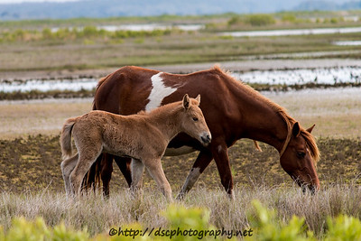 Foal #30 of 2016 Lefty's Checkmark's 2016 Foal Probable Sire:  Prince Light Chestnut Filly Northern Herd First seen 5/16/16