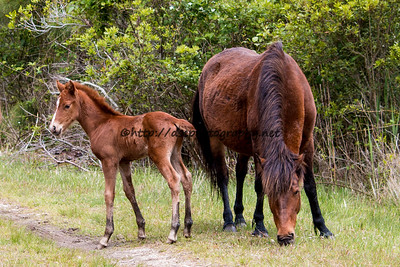 Foal #25 of 2016 Daisey's 2016 Foal Probable Sire:  Phantom Mist Chestnut with Blaze Colt Northern Herd First seen 5/14/16
