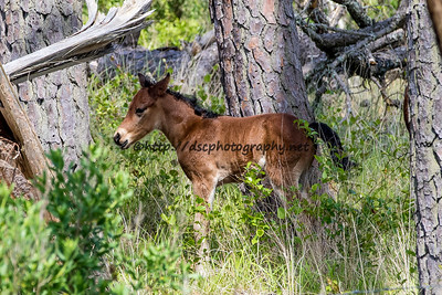 Foal #38 of 2016 Chickadee's 2016 Foal Probable Sire:  Sockett To Me Bay Colt Southern Herd First seen 5/23/16 by Scarlet Raelette and Al Sherbert