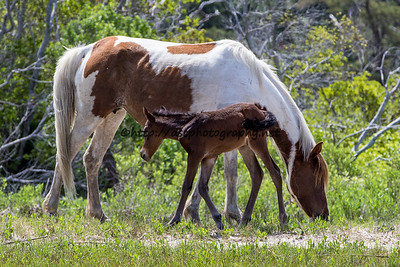 Foal #42 of 2016 Beach Baby's 2016 Foal Probable Sire:  Ace Bay Colt Southern Herd First seen 5/27/16 by Captain Dan