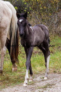 Foal #11 of 2016 Molly Rosebud's 2016 Foal Probable Sire:  Ace  Black Pinto Colt Northern Herd First Seen 4/26/16