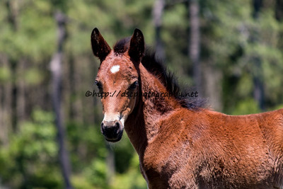 Foal #29 of 2016 Calceti'n's 2016 Foal Probable Sire:  Maverick Bay with Star Colt Southern Herd First seen 5/15/16 by Cara Cole