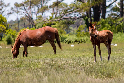 Foal #41 of 2016 Marguerite's 2016 Foal Probable Sire:  Maverick Bay Pinto Filly Southern Herd First seen 5/27/16