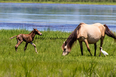 Foal #56 of 2016 Saltwater Taffee/Too Grand's 2016 Foal Probable Sire:  Wild Bill  Chestnut Colt with Spot Northern Herd First seen 6/18/16