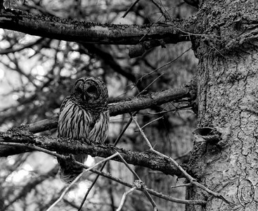 02 Aug 16.    While out walking one morning about 9 weeks ago we noticed a large bird moving from tree to tree. Eventually we got a lock on it and it turned out to be a Barred Owl. This individual is a local resident and we have seen it off and on for the last couple of years. They are fun to watch both perched and flying, especially when flying as they make absolutely no sound. And when sitting perched on a tree limb they tend to blend in quite well. As a school child I remember well the teaching that animals see in B&W, but in the last couple of decades I know that there is no longer agreement on that subject. I'm not sure what is driving the debate, but I would be interested in learning the actual science behind it, if any, and wouldn't be totally surprised if it is something besides solid science driving the discussion. Now you know the photo is of an owl, but if you hadn't read this first I'll wager that you might have a feeling for just how well they blend in with their environment. This individual will sit for a prolonged period of time letting you shoot away as long as you don't make any loud sounds and rapid movements in its direction. A couple years back I shared a color shot of this critter perched on a branch of a fir tree in our back yard; this time around it is in B&W and the bird was at the very end of the drive. We don't always have to go to Yellowstone to get critter shots.  I've cropped the image a significant amount to feature the bird prominently, but I likely should have shared the full frame so you could see the bird/environment interaction better. Nikon D300s; 18 - 200; Aperture Priority; ISO 800; 1/125 sec @ f / 6.3.