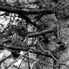 02 Aug 16.    While out walking one morning about 9 weeks ago we noticed a large bird moving from tree to tree. Eventually we got a lock on it and it turned out to be a Barred Owl. This individual is a local resident and we have seen it off and on for the last couple of years. They are fun to watch both perched and flying, especially when flying as they make absolutely no sound. And when sitting perched on a tree limb they tend to blend in quite well. As a school child I remember well the teaching that animals see in B&W, but in the last couple of decades I know that there is no longer agreement on that subject. I'm not sure what is driving the debate, but I would be interested in learning the actual science behind it, if any, and wouldn't be totally surprised if it is something besides solid science driving the discussion. Now you know the photo is of an owl, but if you hadn't read this first I'll wager that you might have a feeling for just how well they blend in with their environment. This individual will sit for a prolonged period of time letting you shoot away as long as you don't make any loud sounds and rapid movements in its direction. A couple years back I shared a color shot of this critter perched on a branch of a fir tree in our back yard; this time around it is in B&W and the bird was at the very end of the drive. We don't always have to go to Yellowstone to get critter shots.<br /> <br /> I've cropped the image a significant amount to feature the bird prominently, but I likely should have shared the full frame so you could see the bird/environment interaction better. Nikon D300s; 18 - 200; Aperture Priority; ISO 800; 1/125 sec @ f / 6.3.