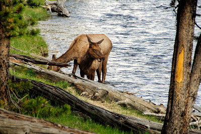 01 Aug 16.   Returning home from a productive day in the park and driving along the Madison River we noticed two cow elk midway across the river seemingly just standing there head to head having a nice conversation. By the time we got off the road and walked to the river's edge they had decided to cease doing whatever it was they were doing and amble ashore to have a bite to eat. We slowly walked to within a few yards of them and then just stood quietly as they ate their way towards us apparently not the least bothered by our visit. Eventually the one with her head up walked up to with in few feet checking us out thoroughly as if she wanted to know where I wanted her to pose. At that point I thought we should leave them to their meal and left to continue heading back to the condo. Besides, watching them eat reminded me that it was time for our evening meal also.  Other than a tiny bit of cropping, this is a straight from the camera image.  Nikon D300s; 18 - 200; Aperture Priority;  ISO 200; 1/200 sec @ f /10.
