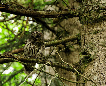 03 Aug 16.   A short narrative for today in that I thought I'd share with you the original color version of the Barred Owl just to illustrate even in color how well these birds blend in with their environment. The bird is perched about 20 feet above the ground on a tree that is no more than 5 feet off the road. Yet if we hadn't watched it fly there we would not have noticed it. What initially made us aware that it was in the area was its hooting and had we not recognized what we were hearing I doubt that we would have had even the slightest idea it was nearby.  Same info as for yesterday's mailing save for not having run it through the B&W plug-in. Nikon D300s; 18 - 200; Aperture priority; ISO 800; 1/125 sec @ f / 6.3.