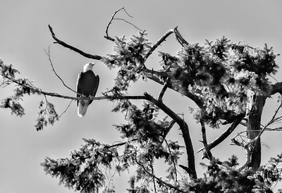 09 Feb 16.    Taking her majesty out for her morning ablutions we were delighted to have an adult Bald Eagle swoop down directly in front of us only to alight and perch on a tall fir next to our drive. Just moments later a murder of crows departed from another tree on the property to be quickly followed by what we think was the screeching of a large owl. That, by any way you figure it, is a good start to any day. But it was even better than that as it was all accompanied by a lovely blue sky and brilliant sunlight!!!  My kind of day. So I thought I might as well go with another bird shot for today and as I began this mentioning a Bald Eagle we'll use a photo of same. This particular bird was shot last summer while we were taking some images for the book. This critter was a reasonable distance from us when it launched out and flew directly overhead landing on a aging fir arching out over the beach to the edge of Hood Canal. As we walked near by and eventually under it I couldn't help but think it was lacking somewhat in the area of personal hygiene.  After some severe cropping, the base image was given a little selective lightening on the body of the bird and the blue of the sky was slightly adjusted before conversion to B&W.   Nikon D300s; 18 - 200; Aperture Priority; ISO 200; 1/500 sec @ f / 7.1.