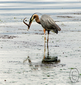 08 Feb 16.   With today's absolutely BORING bowl game, as they so often are, featuring a cat and a horse, I thought I'd add to the menagerie with a bird. This one is of a feeding bird, more specifically one feeding at the peak of a very low tide, a -3 to be exact. The Great Blue Herons in the area I think mark their calenders for the extreme low tides that occur every June. Among their prize catches in these low ides are gunnel, an eel-like fish found in the intertidal zone primarily here in the PNW, but they can range to depth of more than 600 feet. They are safe from the big feathered predators except for these June minus tides when the seabed, generally under 20 to 30 feet of water, is exposed. When that happens these fish take a real beating as the birds love to eat them. I've seen one bird in the course of an hour eat a dozen or more which has to be hard on the species, sort of like our fishing boats scouring the sea. It is always a several minute battle between bird and fish, with the fish constantly wrapping its body around the bill of the birds, but eventually the bird wins, in part I'm sure because it keeps the fish out of water. It is quite the scene to watch, and in this case you get to see the fish in an extended position about to wrap itself around the bird's bill.  This image is best viewed at 100%.  The base image was severely cropped, then I added a small amount of micro contrast and lighted the eye just a tad.  Nikon D300s; 80 -400;  Aperture Priority;  ISO 200; 1/1000 sec @ f / 8.