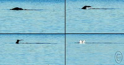 """11 Jan 16.   Early this afternoon our neighbors stopped by to collect their dog Mini, with whom you are all familiar, and while so doing invited us to join them at their water front property to hopefully watch and photograph whales. I mentioned it to Jan who immediately said let's go, so I readied the camera for some long shots, loaded it and the three of us into the van and headed out. We hadn't been there more than 15 minutes when""""our"""" two humpback whales made their presence known. I got two series of shots of them and was reasonably pleased with some of the frames, four of which I'm sharing with you today in the form of a 2x2 panel that should be viewed L to R; T to B. This is a shot of the adult female who is easily recognizable by her quite distinctive tail fluke. You are looking across Puget Sound towards the Edmonds shoreline which was sharply visible in the images but was a distraction from the mammal so I cropped that portion, as well as some other stuff, out of the four frames. For those of you not familiar with Puget Sound, here is a link that will give you some idea of where it is and what it is (just ignore the Salish Sound crap.) Look at the second chart (in blue) on the right to locate Edmonds; we were shooting directly across form that on the opposite shore about 3 miles further north. At this point the sound is roughly 5 miles across and the whales are somewhere between 3.5 ad 4 miles out from us. It is very  hard to measure distance across the water, but I'm making my judgement by where they were in the frame relative to both sides, top and bottom of the frame, of the sound. This series of shots was taken just as the whale prepared to sound. In order to reach them I used my 150 - 600 Tamron zoom which is not an expensive long tele by any measurement, but amazingly sharp for the money. I was fully zoomed out to the 600mm focal length and with the small sensor in the D300s it amounted to an equivalent 900mm lens on a standard film or full frame digit"""