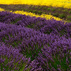 """27 Jul 16.If you use the M$ operating system you likely have seen at least one piece of """"wallpaper"""" featuring vast fields of lavender that seemingly go on forever. That is something you won't see at the Sequim lavender farms as none of them come even close to being of that caliber. But the lavender is still planted in rows and is still just as lovely. This year I was surprised to see another flower planted among the lavender and while I didn't inquire about - I should have - I think it may have been planted just for contrast. My thinking it was not planted as a competing crop is based on there being far more rows of lavender than of the """"color"""" crop and only a few of the fields contained the """"color"""" crop at all. Those that did however were truly delightful and I hope they do it again next year. You can judge for yourself as to the effect. It was present in the first lavender image I shared but in this composition you can get a good feel for the difference in the two flowers and how the plants are arranged. The smaller green clumps, diagonally upper right, are young lavender plants and will likely be used for the cut your own area next year.<br /> <br /> I cropped off the top 1/3 of the capture as it added nothing and was quite distracting and cloned out a few remaining annoying items (chairs and people) but otherwise this is a straight shot. Nikon D300s; 18 - 200; Aperture Priority;  ISO 200; 1/640 sec @ f /10."""
