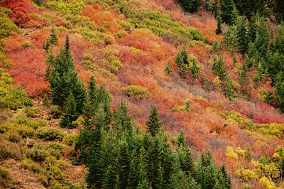 "12 Sep 16.  Driving around our local area and noticing the fall colors beginning to appear, I thought we'd take a trip tomorrow to shoot color on the other side. So after returning from church I gave the Leavenworth Ranger Station a ring to see how the color was progressing only to be informed that they now only man the office on weekdays and if it was an emergency to call 911. I didn't think the 911 folks would have the needed info, so I elected to review my photo collection to see when I got the color shots the last 6 years only to realize that it was all acquired in early to mid October, so needless to say we won't be making that tip tomorrow. But looking at all those shots gave me the urge to share one so that's what I'm doing for the next two days, this first one in color and the second one, tomorrow, a very similar shot from the same general location, in B&W. These two shots were taken at the end of the prime color period meaning that much had already peaked and this was the end of the peak for the ""late bloomers."" You get these colors for maybe a week to ten days max, and they vary in color intensity based on the lighting. There is only a small area just east of the Steven's Pass summit where you can find these large beautiful mountain side displays; if you reside anywhere near this part of the PNW it is worth the effort to try and time a visit to capture it. The local park rangers can be quite helpful in timing your visit, that is, IF you call during the week.  The original capture wasn't this bright as we were experiencing a very bad lighting condition when we were there. To get this, I first set the correct white and black points, then took the greens to the color they were in a shot I took later that day when the sun had made its appearance and let everything else adjust with the greens. Finally I made a small contrast adjustment. Nikon D300s; 18 - 200; Aperture Priority; ISO 500; 1/80 sec @ f / 8 on a tripod. The shot should have been taken at something faster than a 500th of a second to get around the air movement that tends to render these types of shots less than perfectly sharp.(Sometimes I forget my own advice.)"