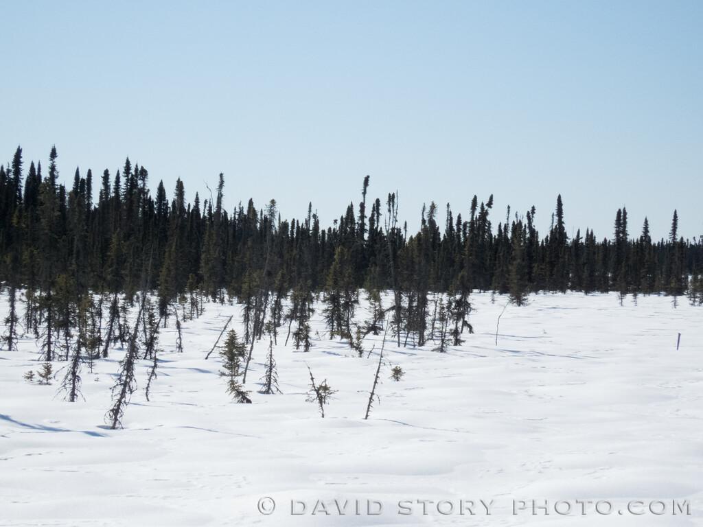 2017 03 17: Skilak Loop spruce.