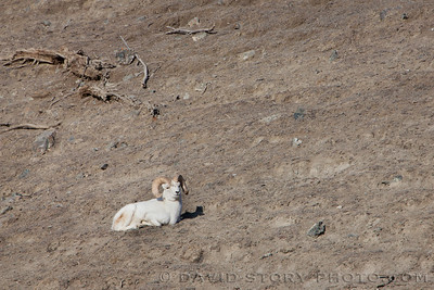 2017 04 11: Dall sheep (Ovis dalli) resting in Kluane National Park, Yukon, Canada.