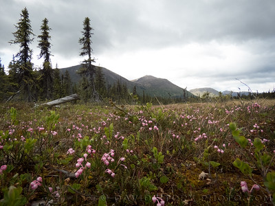 2017 06 07: Bog Rosemary (Andromeda polifolia) like these pink plants near Bean Creek in Cooper Landing are common throughout Alaska and highly poisionous.