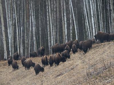 2017 04 10: Wood bison (Bison bison athabascae) graze near Muncho Lake, BC.
