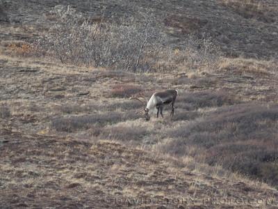 2017 09 17: Browsing caribou. Denali National Park, AK