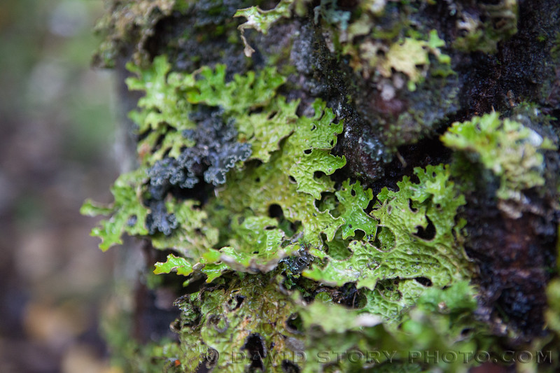 2017 09 24:  Lungwort lichen (Lobaria linita) resemble lungs and only flourish in very clean air.