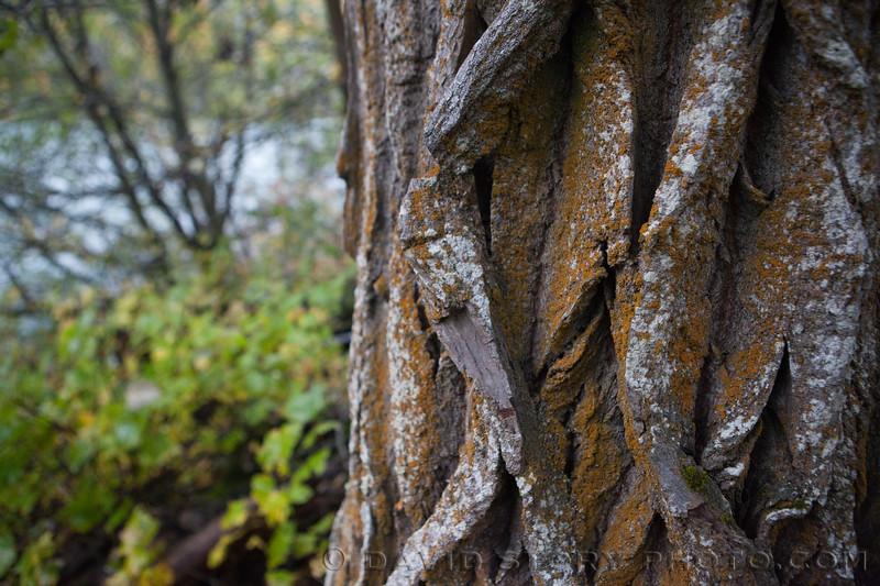 2017 09 30: Fall on Kenai Lake, AK. 09 30: Fall fat biking. 09 30: Fall colors on the Kenai Peninsula, AK. 09 24: Lichen on cottowood bark. Cooper Landing, AK.