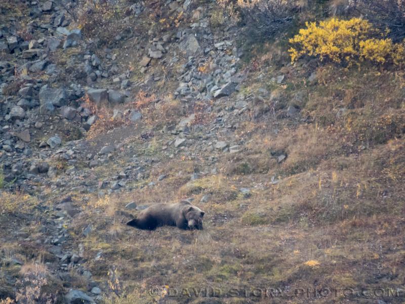 2017 09 17: Casual bear. Denali National Park, AK.