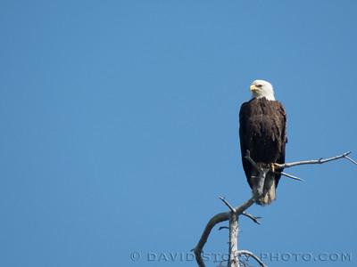 2017 07 05: Bald eagle (Haliaeetus leucocephalus).