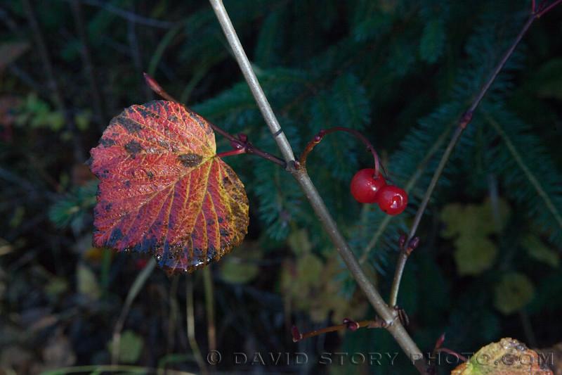 2017 09:30: Highbush cranberries (Viburnum edule). Cooper Landing, AK.