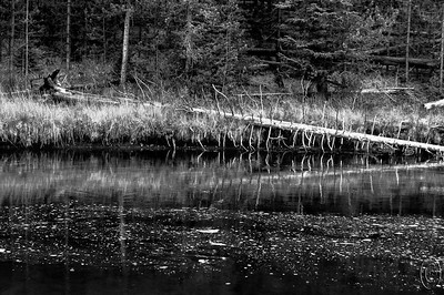 04 Apr 17It's getting to that time of year when my mind starts pondering what might lie in store for our annual spring visit to Yellowstone. During my visit last fall I watched, somewhat in envy, the many fly fisherman wetting their lines in the Firehole and Madison Rivers. The Firehole eventually joins a couple other smaller rivers to form the Madison but it really doesn't seem to matter where you cast that line. Just off to the right of this frame is a fisherman working the far bank of an area just beyond this reminder of a former tree but from what I could see he wasn't having much luck. I watched him for perhaps 15 minutes while I was taking photos a courteous distance to his left but he either apparently was having no luck and was ready to quit or just didn't appreciate sharing the real estate as he reeled in his line and left the area. I never did see any fish but then I wasn't trying all that hard either. But he did make me want to get into the water to see if I could get a better perspective for a few photos but I didn't have the waders with me and stayed dry on the shore. This is an area of the park where I could just get out of the vehicle, put on the waders, and start moseying my way up stream stopping to shoot whatever caught my lens and if it took me all day to make it just a few miles it would be just fine!  This is basically straight from the camera save for a bit of burning in of the log. Nikon D300s; 18 - 00; Aperture Priority; ISO 400; 1/160 sec @ f / 8.