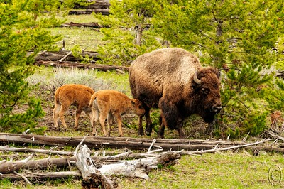"12 Apr 17	Three weeks and we'll be in Yellowstone looking at sights like what I'm sharing today on a daily basis. Roughly between the second week in May through the second week of June the bison are giving birth. Called ""reddogs"" when born due to their color and size, they are TOTALLY cute and lots of fun to watch when they play with one another. This shot of a proud mother of twins was taken inside the park along the Madison River but could just as easily have been taken in the pine scrub a couple blocks from the condo. These guys stay with mom for two seasons before being fully weaned. Within hours of birth they are capable of keeping up with the herd even at full speed. Last year my goal was to film a birth but I never came close; gonna try again this year but I'm not holding my breath. With a bit of luck we might get to grab a few shots of them in some lingering snow. Time will tell.  Three weeks and we'll be in Yellowstone looking at sights like what I'm sharing today on a daily basis. Roughly between the second week in May through the second week of June the bison are giving birth. Called ""reddogs"" when born due to their color and size, they are TOTALLY cute and lots of fun to watch when they play with one another. This shot of a proud mother of twins was taken inside the park along the Madison River but could just as easily have been taken in the pine scrub a couple blocks from the condo. These guys stay with mom for two seasons before being fully weaned. Within hours of birth they are capable of keeping up with the herd even at full speed. Last year my goal was to film a birth but I never came close; gonna try again this year but I'm not holding my breath. With a bit of luck we might get to grab a few shots of them in some lingering snow. Time will tell.   This is basically straight from the camera although I added a curves adjustment to give it a small amount of contrast enhancement.  Nikon D300s; 18 - 200; Aperture Priority; ISO 400; 1/250 sec @ f / 9."