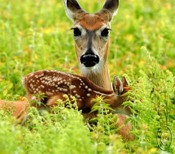 21 Feb 17	Those of you on the right coast will likely immediately recognize the location in which I took this shot as well as the time of year it was taken. Those of you and the left coast won't. Big Meadow is a large cleared field in Shenandoah National Park in VA and during the first two weeks of every June the local deer population meets here to birth their fawns. The meadow is literally strewn with fawns, but until mom comes to take care of them, every morning and evening, they are bedded down so well that you can literally walk over them and they won't budge to give away their hiding place. We know, because we tried on several occasions to find them and never did even though we walked directly over the areas where they were bedded down and they never gave away their locations. Having no odor of their own, and having mom consume all their waste products while she is nursing them morning and evening, by staying TOTALLY motionless they are well protected from predators. This mom had fed and cleaned up her fawn, then allowed him to play with others for the better part of an hour and was in the process of bedding him down while I was recording the entire event. At this point she was well aware of where I was and was keeping a sharp eye on me making certain I wasn't up to no good. The image isn't a particularly good one because of the fawn's face being obscured, but I love the look on mom's face as she stared directly at me. This was shot with a 5 megapixel camera, the D70, and the first VR lens made by Nikon, the 80 - 400 VR, which has a reputation of not being acceptably sharp, but I call your attention to the hairs around her face and especially near her eyes and will allow you to make your own decision as to sharpness. It is unfortunate that I wasn't quick enough to capture the fawn maybe one second sooner when its head would have been in full view but it is what it is. You can just imagine it being where it should have been.  This is straight from the camera with the D70 and the 80 - 400 lens set to 400mm which would be the equivalent of 600mm on a film body; Aperture Priority; ISO 200; 1/200 sec @ f / 7.1
