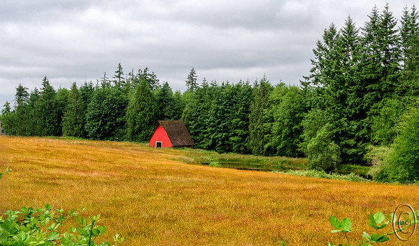 10 Jul 17	Driving between our home and just about anywhere, save for the very northern most point of this peninsula, we pass a small farm on the west side of Hansville Road that has been in existence since I was a child, although not now owned by the same family. It has, for the majority of the time we've resided here, but not currently, been home to a couple three head of cattle. It was always fun when driving by trying to find them when they were present and often we failed to do so. Now all that is there to view is the barn, a pond, and the grass. It's the grass that catches our attention. For the last two weeks it has been haying time in our neighborhood but this property has not participated so the land is a lovely carpet of yellows and golds. That is contrasted by a freshly red painted barn and a pond brightly reflecting the greens of the trees. For those of you not residing in our part of the country the greens of the trees can be somewhat impressive, not unlike I suppose the fall colors of the trees on the right coast for those of us on the left coast. I was reminded of this by an east coast visitor who commented frequently about that which we take for granted. I hadn't given it much thought in part because I tire of just green and long for the colors found on the other side of the continent so the comment at first surprised me but after hearing it a couple of times I realized how truly different are hardwood and softwood forests. So here is a shot of the small farm adjoining a softwood forest taken before the morning cloud cover had fully dissipated with just a hint of the blue poking through above the field of gold. That must make it a Swedish farm.  This is straight from the camera save for some small cropping and a small amount of contrast enhancement for the clouds.  Nikon D500; 18 - 200; Aperture Priority; ISO 500; 1/1000 sec @ f / 9.