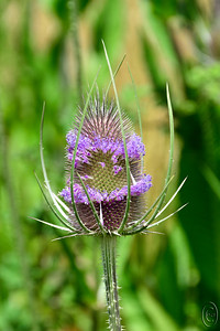 21 Jul 17	Among Jan's favorite flowers, at least in the dried stage, would be teasel. Seldom do we drive along an area with roadside teasel that she doesn't comment on it and not infrequently we have to stop while she collects it for a future project. Unfortunately most of the time that cut material for a future project resides somewhere inconvenient until I finally throw it away in frustration of it having stuck me on more occasions than I would like to admit. Back during our first tour in the Navy she and a neighbor who were close friends used to employ the stuff for holiday decorations spraying it different colors and using it to decorate our Navy housing. That I liked as it served a useful purpose, but having it just lying around is a different story. One of the things we didn't do well when we built the current abode was to provide mantel space where we could display things like colored teasel and the like. As pretty as the dried teasel is, it is also quite lovely when it blooms, with its thistle like shape and tiny bright purple flowers perfectly designed for any small crawling insect or bird with a long thin bill, hummers being a perfect example. Today's submission is a shot of one stem in bloom.  This is straight from the camera. Nikon D500; 18 - 200; Aperture Priority; ISO 400; 1/640 sec @ f / 9.