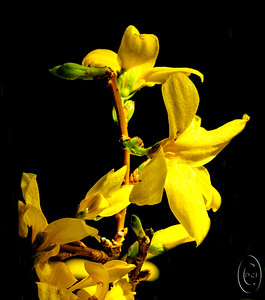 28 Mar 17	When we lived in Ballard we had a large forsythia bush in the very back of our yard which I really enjoyed as when it began to bloom I knew spring had arrived. Nothing has changed except that we don't have such a bush in our backyard here. As a part of the installation of our new Pastor yesterday we had a nice potluck dinner following and there were several bouquets decorating the fellowship area. One of them really caught my eye so I shanghaied it after the feast was over and brought home to shoot. Try as I might I failed to capture the real essence of the flowers making up the grouping which one of the congregational members has a flair for creating so I decided to concentrate on single species, in this case, you guessed it, a forsythia sprig. In my mind there were some distracting elements present so I removed them in this final presentation although one could argue that in so doing the flower loses a bit of its charter. In reality I could go either way. This presentation looks best very close up or at a distance of about 4 feet. Each distance gives a slightly different look.  The original was cropped quite a bit and a lot of material removed to leave just the forsythia. Nikon D300s; ISO 200; 1/50 sec @ f /13 on a tripod with the 200mm micro nikkor.