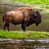 26 Jun 17	Back in 2013 during our first visit to the National Bison Range, we were stopped at the gate prior to entering and while Jan was doing something I don't remember, a lone bull bison walked nearby, maybe 50 yards away, and just stopped as if posing. I took several shots of him and as it turned out one of them was among my all time favorite photos. I worked up a couple versions of the shot and liked one well enough to print for the wall over the couch in the condo. [Now before anyone gets worked up over that comment please understand that in as much as I see my stuff ALL the time, my tendency is to put the work of others on our walls. I can look at my stuff any time I want without needing to print it out.] It hung there for a while, then got moved to a prime spot over the fireplace. Shortly after that move a neighbor and friend commented off hand just how much he liked that framed print so I gave it to him. I never reprinted it. However, since that time I've been on the lookout for another that might replace it. I saw the perfect replacement during our next to last day in Yellowstone this last trip but the traffic was heavy and there was no easy place to pull off so by the time I could stop it was too late. This was a very large bull strolling through the snow with the absolute perfect lighting. Oh well was my thought. Then the next day on my last trip into the park, Jan having elected to take the day off and just relax, on my way out I came upon another nice sized bull, albeit somewhat smaller than the one on the previous day, who was slowly but steadily making his way along a strip of new grass aside the Madison River. I followed him for several minutes in the SUV, then stopped when it looked like he might pause a bit, and started shooting. At one point he acted as if he knew I was taking his portrait and just stood very still looking a bit downward but in my direction. I'm sharing my favorite of those shots today. Much of his winter insulation has been shed but there is much more to rub off. Oddly, in all our visits to the park, as well as observing those around here on farms, I've never seen one completely devoid of the winter coat.<br /> <br /> This is generally straight from the camera save for some cropping, the application of a vignette which I hope you couldn't tell, and a localized adjustment for the greens that didn't record as I saw them. Nikon D500; 18 - 200; Aperture priority; ISO 800; 1/320 sec @ f / 9.