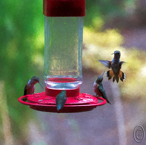 "15 Jun 17	We have a couple pairs of Anna hummingbirds that stay with us year round that we feed and enjoy watching. Being just a few birds, they are an easy to please group. Then comes June and the annual migration of assorted hummers come our way and settle in. This year, so far, it looks like we have a couple dozen who have decided to stake a claim to both portions of our trees and our feeders. Last year at this time we had three feeders like the one in the photo and we were refilling them twice a day. Later in the year at one of the home shows we attended Jan's eye was captured by a fancy new feeder at a fancy cost that was ""guaranteed"" to be the best feeder ever invented. So she bought 4! We now have all four of them hanging outside our porch along with the old one in the photo. Guess which one the birds are using and which ones they are not. We are already refilling this one at least once a day and I'm thinking it won't be long before it's twice a day. Now she is looking to purchase more of this older type since the birds are flocking to it. Last year it was feeding two at once at best, but this year the birds seem to be more willing to share and we've seen up to a dozen feeding at once several times today. I took perhaps 50 shots of them throughout the day and I'll surly be trying again tomorrow. This is my favorite shot of the day and it being Theatrical Thursday I've ""printed"" it on a piece of acrylic.  This is straight from the camera save for a small amount of straightening and cropping. Nikon D500; 18 - 200; Aperture priority;  ISO 1000; 1/400 sec @ f / 5.6."