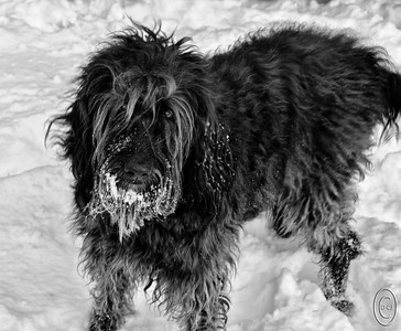17 Jan 17	We'll go with a pure black and white for today in that we have a black dog on a bed of snow. Can't get much more black and white than that. This is Margaret, our Labradoodle, or Maggie as she is affectionately known, doing what her highness considers to be one of the best things in life, playing in the snow. From her perspective, real life actually consists of playing either in the snow or on the beach, snacking, getting rubs - LOTS of them, and sleeping. Everything else is just routines. The right side of the image is not sharp as that end of the dog was moving back and forth in conjunction with the tail that wags the dog. Had she had her way this day we would have just stayed where we were and spent the daylight hours romping in the white stuff. At one point she got so excited that she ran up a snowbank that was pushed up against the retaining wall the other side of which was about a 1000 foot drop. A moment of panic on my part before I got her down off it. A repeat of last year when she went over the bank to walk on the ice that didn't hold her this time would have been a fall that would have been an end of her. Fortunately she is very sure footed and STRONG so my concerns are likely highly over rated, but the thought of what could be I can do without. And yes, I could confine her to a leash but then I would be depriving her of all the fun!!  This base image was corrected for significant color casts of blue, green, and yellow, and a bit of cloning out of some a couple problem areas was done. Otherwise, this is a straight shot.  Nikon D300s; 18 - 200; Aperture Priority; ISO 200; 1/30 sec @ f /10.