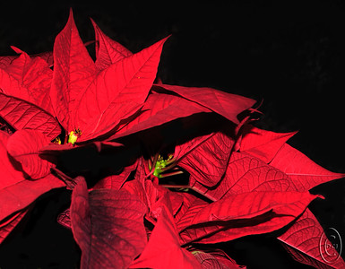 "06 Jan 17	I borrowed another grouping of poinsettias from church last Sunday and did some more playing with them earlier this week. This was a multi-colored group, both red and white, but I've used just a portion of the red for the image(s). The base image isn't something that I'd want to print, but it was the perfect platform for creating some artistic versions. You may recall that I shared a shot of a dragon fly last year that I had converted into a six sided figure. Some folks really liked it and others, such as my bride, said ""yuck."" It's a matter of taste I guess. Today I'm sharing two creative versions of the base for your consideration. Sort of a combo macro-creative image so we'll consider it fair game for Theatrical Thursday and Macro Friday. These two are pure art, something akin to looking through that tube you had as a youth that contained a lot of thin mirror strips with a bunch of colored pieces of glass or something inside which made interesting designs when you rotated the end with the mirrors. You can now do the same thing with software so of course that's what I've done. So three images for today, the base plus to pieces of art. To create the art I used a program called Picture Window Pro, a graphics program built by the same individual; who wrote Lotus 1-2-3 back in the early 80s. Some of you may remember that piece of software as the savior of the first IMB-PC. Long story that is available on the web.  I took the base image and cropped it tightly, then removed (painted out with black) anything I didn't want. Saved that and then created the two art pieces.  Nikon D300s;  18 - 200; Aperture Priority; ISO 400; 1/60 sec @ f / 9 with fill flash."