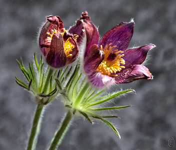 13 Apr 18	 Today's close up is of a Pasque flower shot in the studio against a blackish backdrop using a ring flash for balanced lighting.  My first attempt using the viewfinder for focus and the shutter release button to make the exposure resulted in less than satisfactory results. So I next tried using live view for focus which helped immensely but still didn't cut it so I added a cable release to the equation to get the desired results.  My initial acquaintance with this lovely little flower was in the alpine region of Mt Rainier and for several years I thought they were just an alpine flower. A couple years ago I found them in one nursery and then after that in many nurseries so that suggested that they grew in more locations than just up in the mountains. Having found them in the nurseries I bought a couple two years ago and planted them in a whiskey barrel. They are now a nice sized clump and from the original two that had two flowers, the group is showing 20 blossoms as of this morning. When full grown they get to between 6 and 12 inches so they are a nice addition to anything along the lines of a rock garden.  While picking out some sweet pea seeds yesterday for Jan at a local nursery I noticed a small selection of these lovely little 6 inch beauties in full bloom and picked up two more for the garden; this is one of them.  I've cropped the original a fair amount and cloned out the container holding the plant as it was most annoying.  Nikon D500; 18 - 200; Aperture Priority;  ISO 200; 1/2 sec @ f / 9 with ring flash on a tripod.