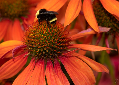 """10 Aug 18As you are all aware my favorite type of photography is macro and Fridays are dedicated to that area, this Friday being no exception with a photo of a cone flower with, surprise, a bee on it. A few weeks back I was watching a series of videos on macro photography touted as being the cat's meow on the subject put on by a major player in the digital editing software arena. To say I was disappointed would be a gross understatement but in the course of watching them all in hopes that there would be some small kernel of new information I was introduced to a couple of new lenses of which I wasn't aware. So the time spent wasn't a total waste. My current stable of macro lenses, the 55, 60, 105, and 200 mm Micro Nikkor lenses all go to a 1:1 ratio, meaning they can shoot life size, but not beyond. To go further I need to add a bellows, close up rings, extensions tubes, or reverse the lenses. All these approaches work but they require additional time to set up, degrading the glass in the prime lens, or jerry-rigging components together to get the necessary magnification. Here is where those programs fit in. One of the lenses demonstrated is a Chinese macro lens from a company called LAOWA. They offer a 25mm f/2.8 (to 16) ultra macro lens that provides 2.5 to 5.0 X continuous magnification with 0.5 x marked increments. At this point I'm sure you know I had to have one, and order one I did based on the sample images I saw produced with it. It arrived today and so far I've gotten it out of its shipping case, removed it from its vacuum wrapped bag, and read the manual if you can call what comes with it a manual, 15 pages 3.5"""" x 2.75"""". Tomorrow it goes on the camera to see how it performs for me. So be on the lookout for something next week in the 2.5 to 5.0 x magnification. I have no idea what it may be, but it will be something.  I've substantially cropped the original but that's all. Ground Zero  Nikon D500; 18 - 200; Aperture Priority; ISO 250; 1/ 250 sec @ f / 8."""
